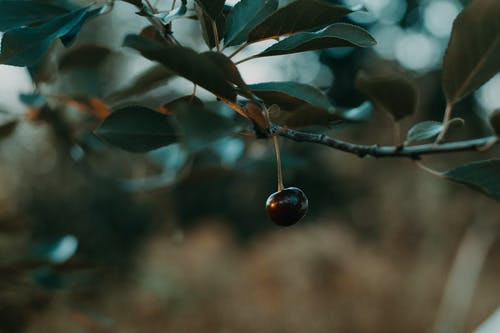 Shallow Focus Photography of Black Cherry
