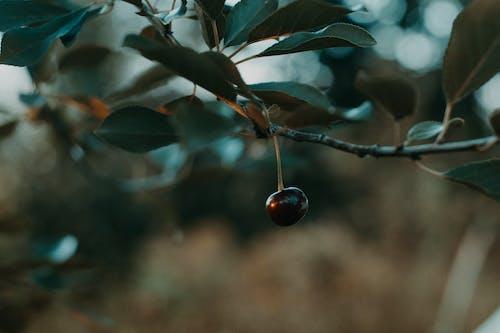 HD 바탕화면, 가벼운, 가지, 과일의 무료 스톡 사진