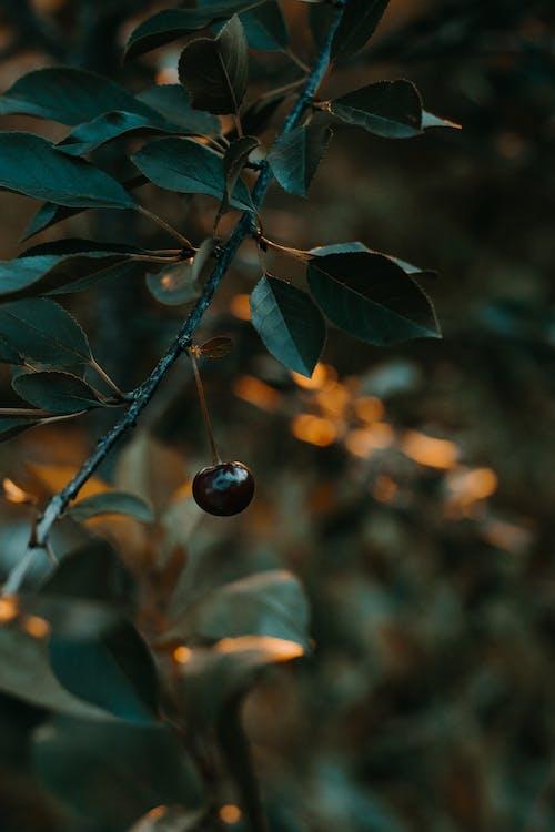 Darmowe zdjęcie z galerii z blackberry, gałąź, jedzenie, jeżyna