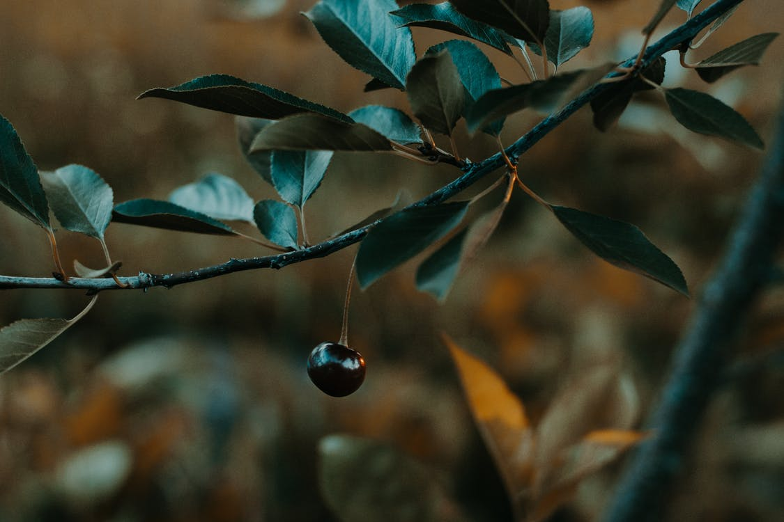 blackberry, ветвь, дерево