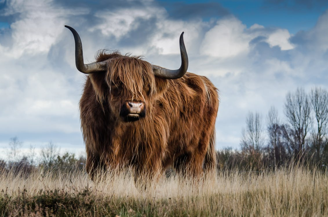 Brown Bull on Green Glass Field Under Grey and Blue Cloudy Sky