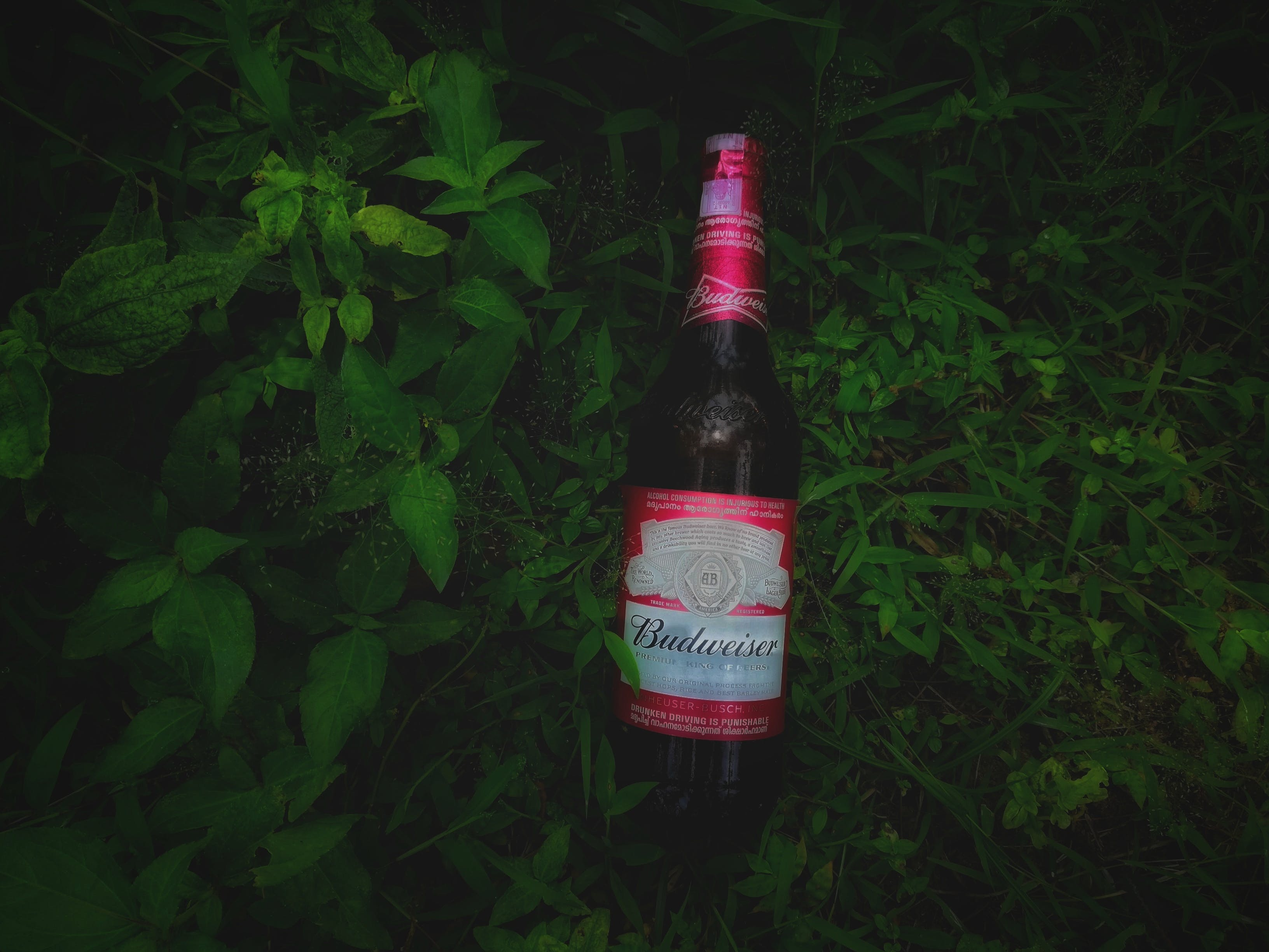 Free stock photo of beer, beer bottle, bottle, budweiser