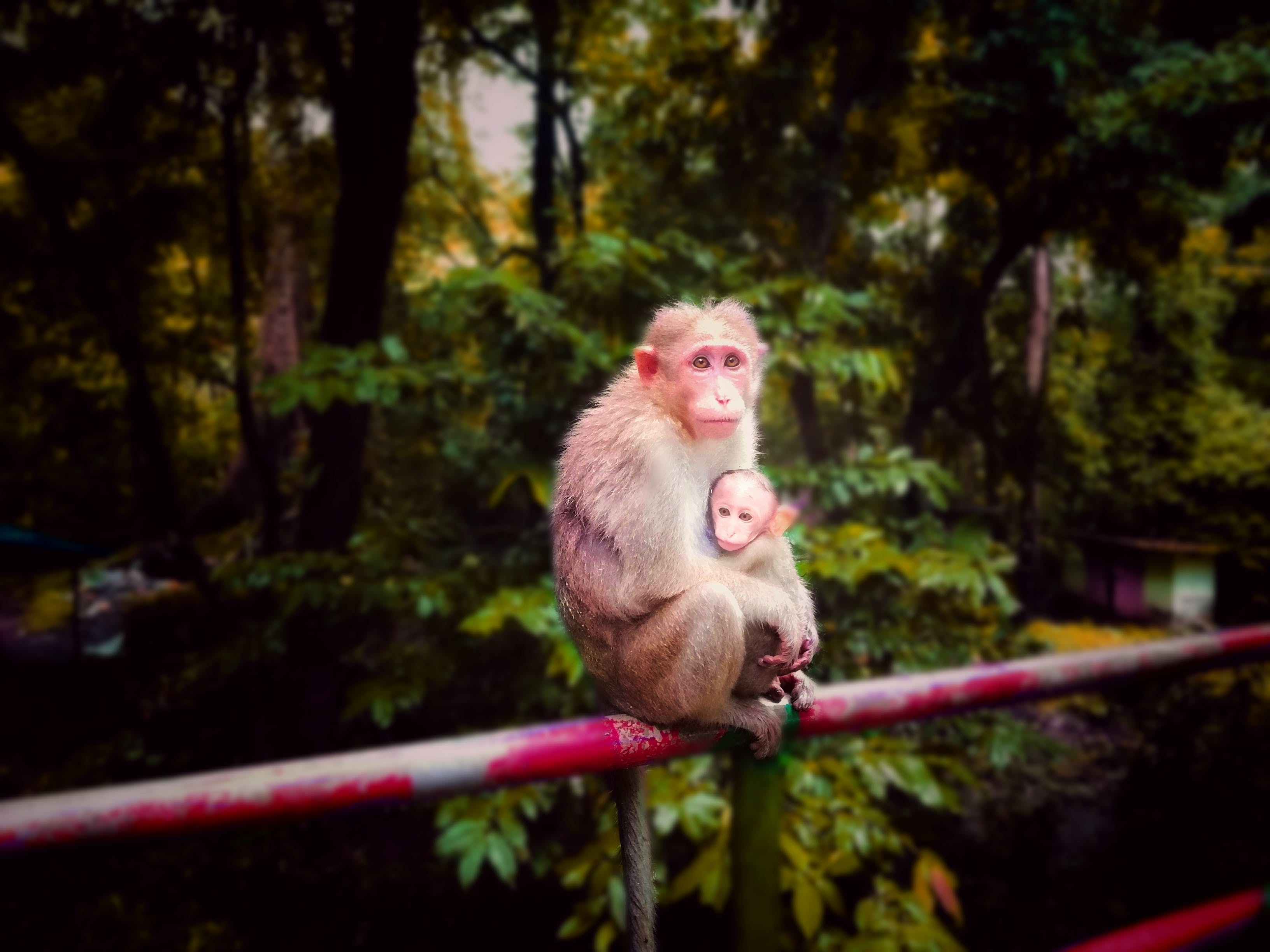 Free stock photo of animals, athirapilly, baby monkey, forest