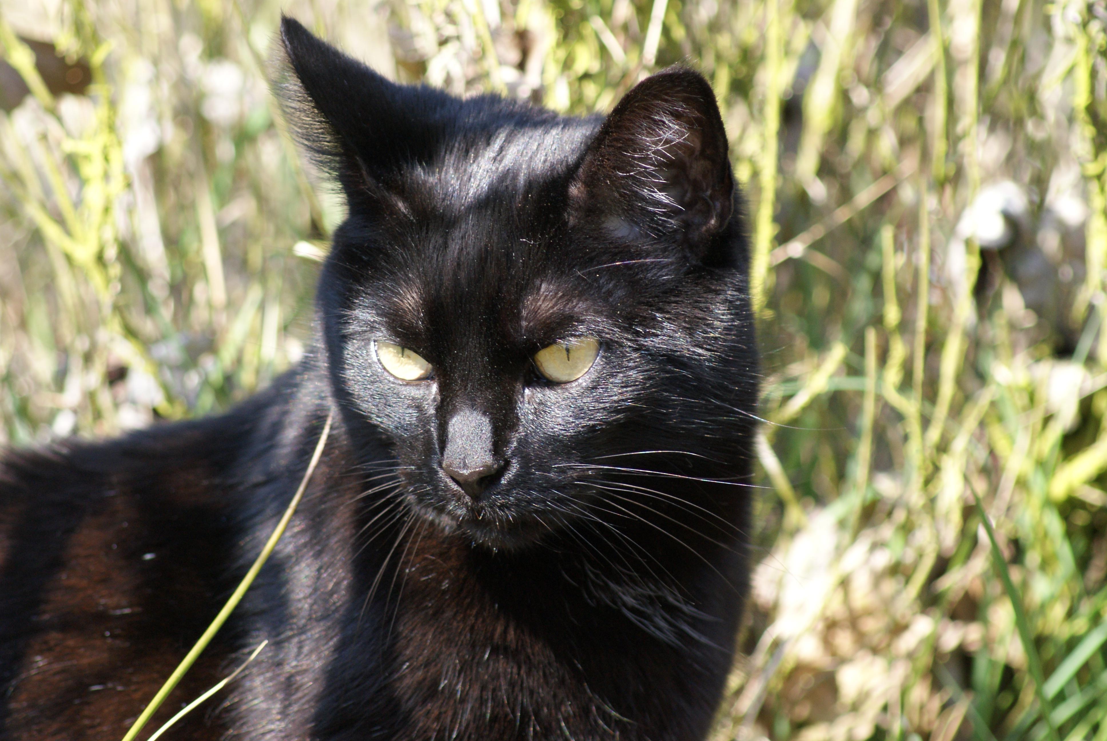 Stáhnout royalty-free Roztomilý tlama černá kočka se zelenýma očima.