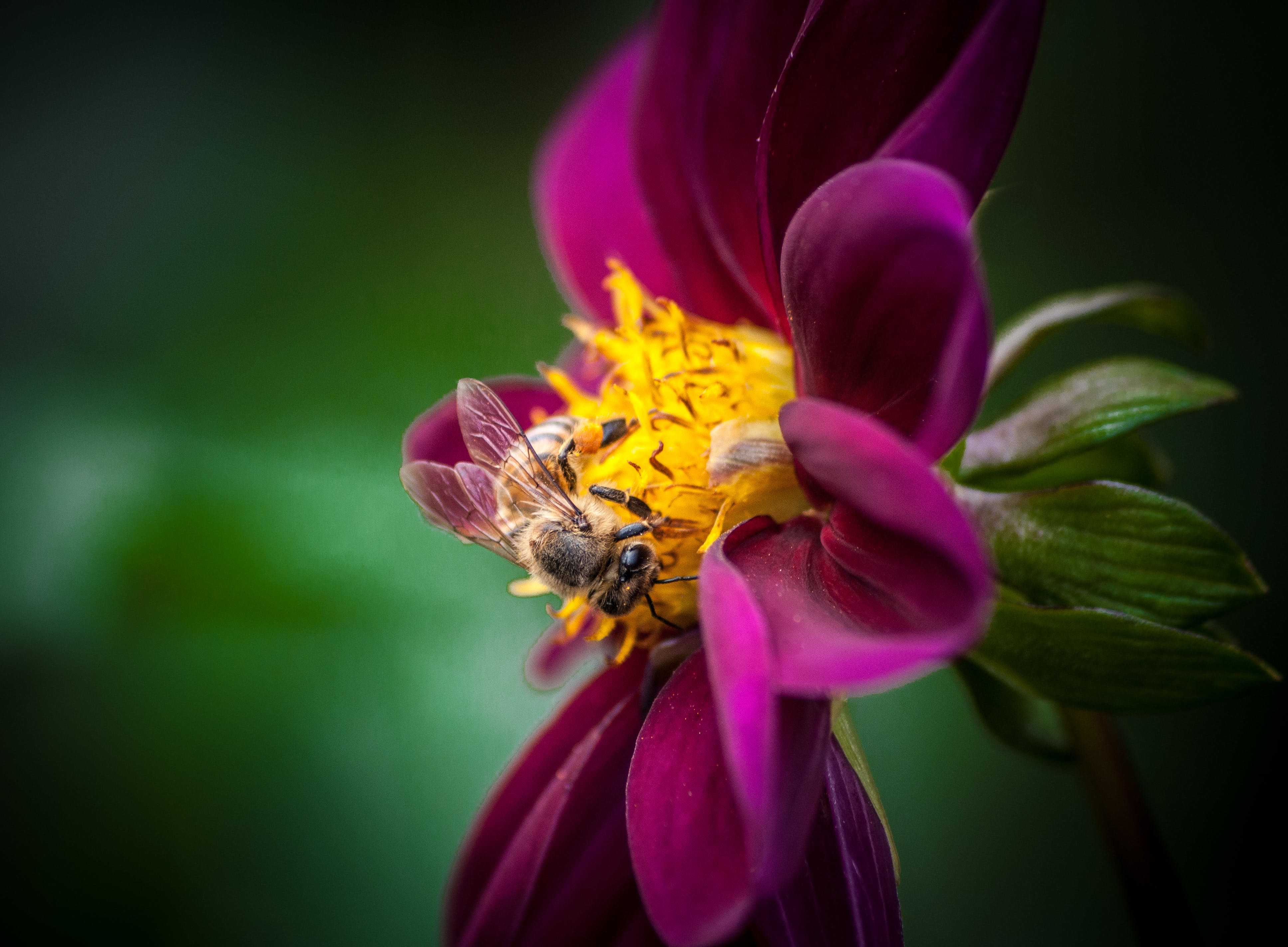 Closeup Photo of Bee on Pink and Yellow Petaled Flower