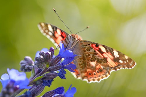 Close Up Photo of Vanessa Atalanta Butterfly Perched on Purple Flower