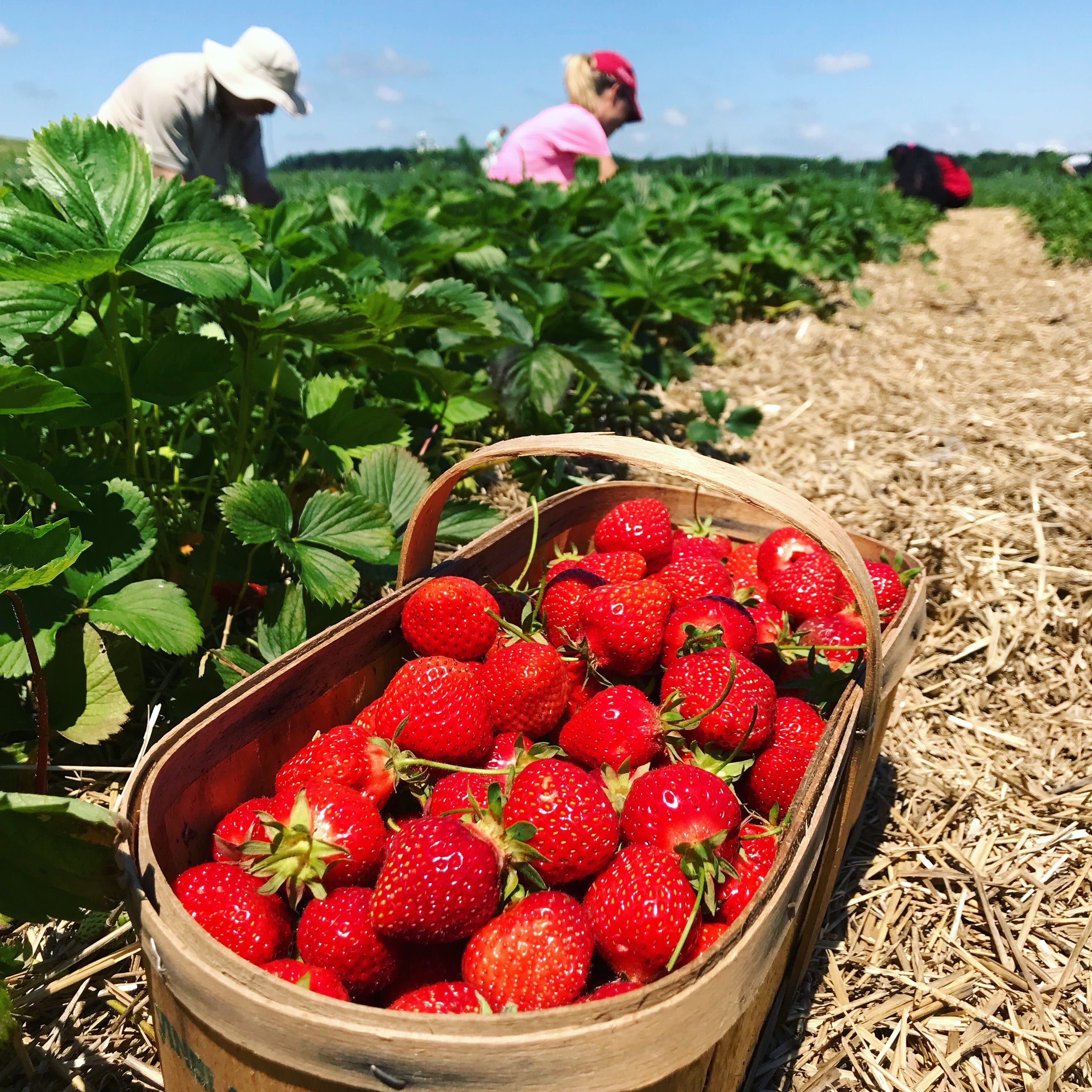 Free stock photo of Strawberrypicking