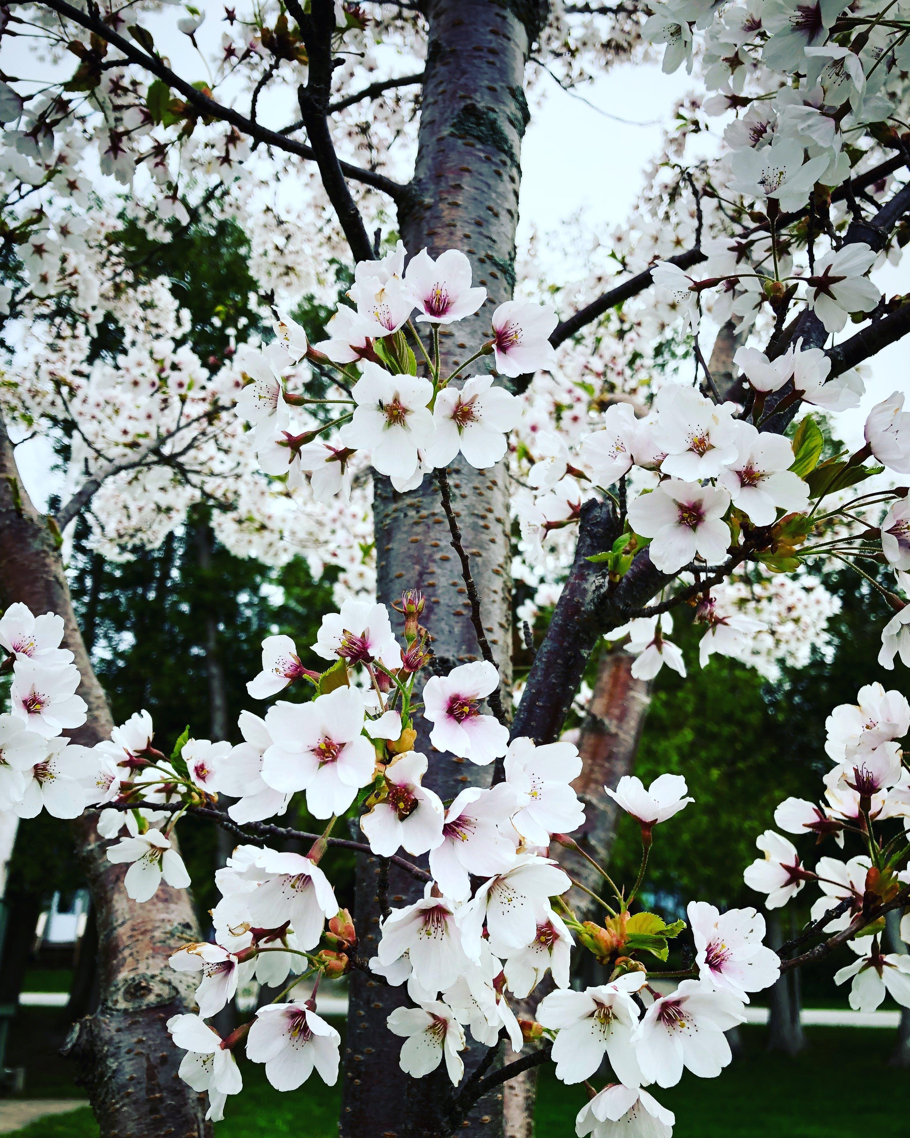 White Petaled Flowering Tree