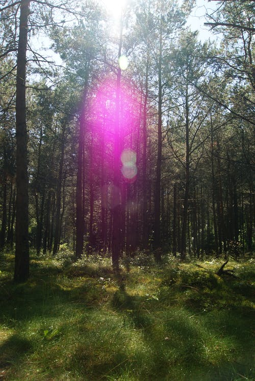 Free stock photo of forrest, green, lens flare, tree