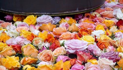 Kostenloses Stock Foto zu blumen, brunnen, rosen