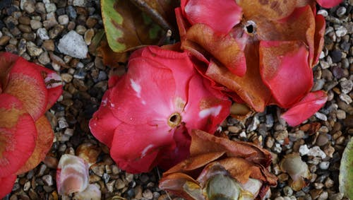 Kostenloses Stock Foto zu blume, blumen, blütenblätter