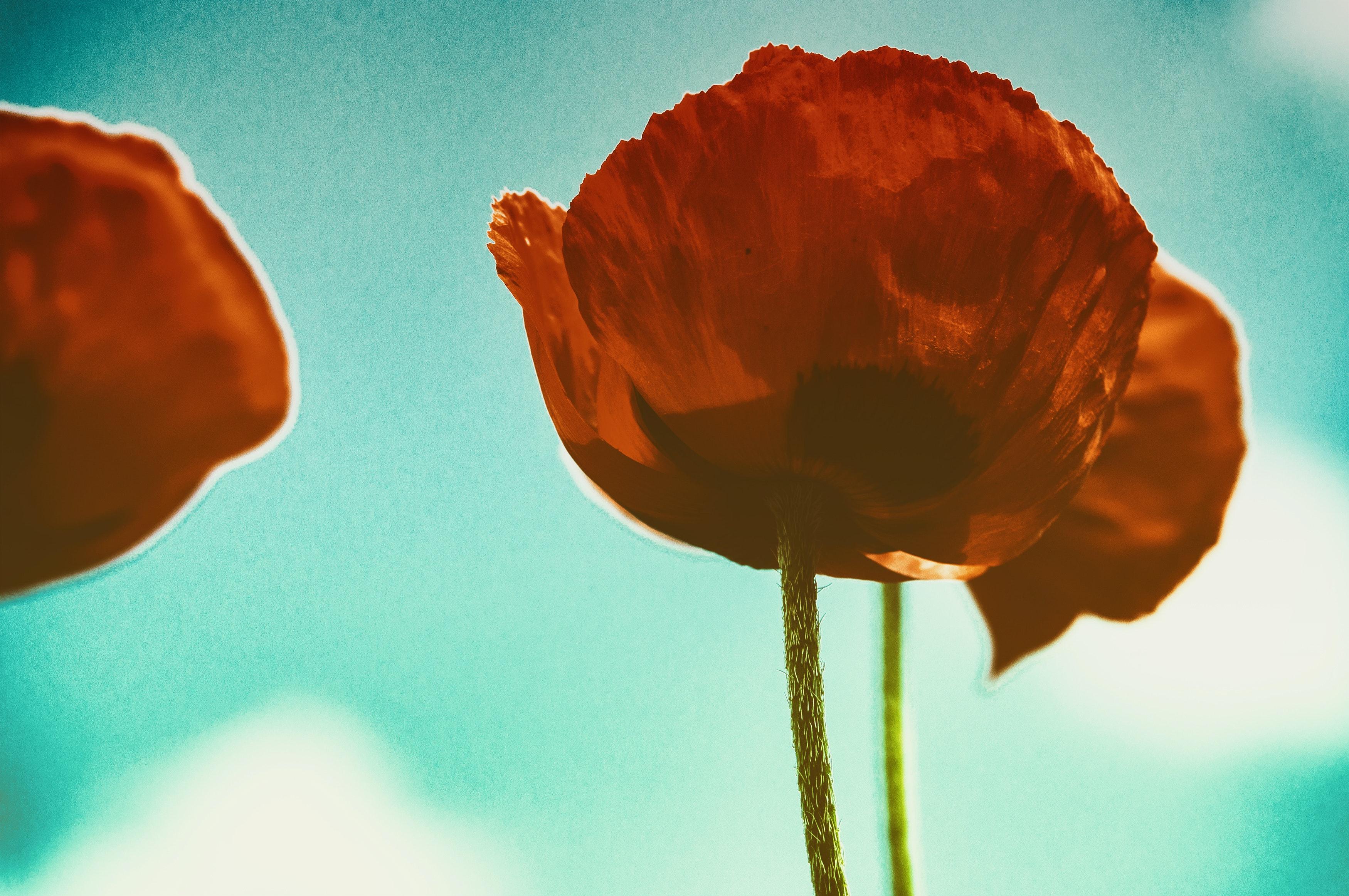 Photo Gratuite De Fleur Rouge Fleurs Fond D Ecran Fleur