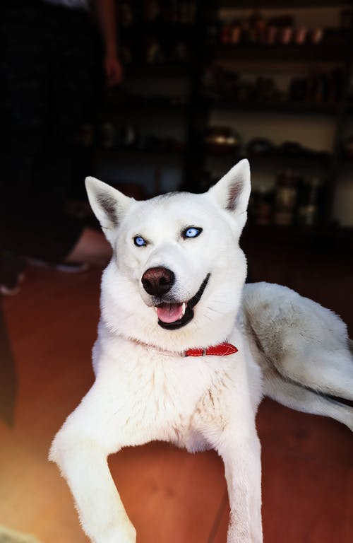 Free stock photo of white husky