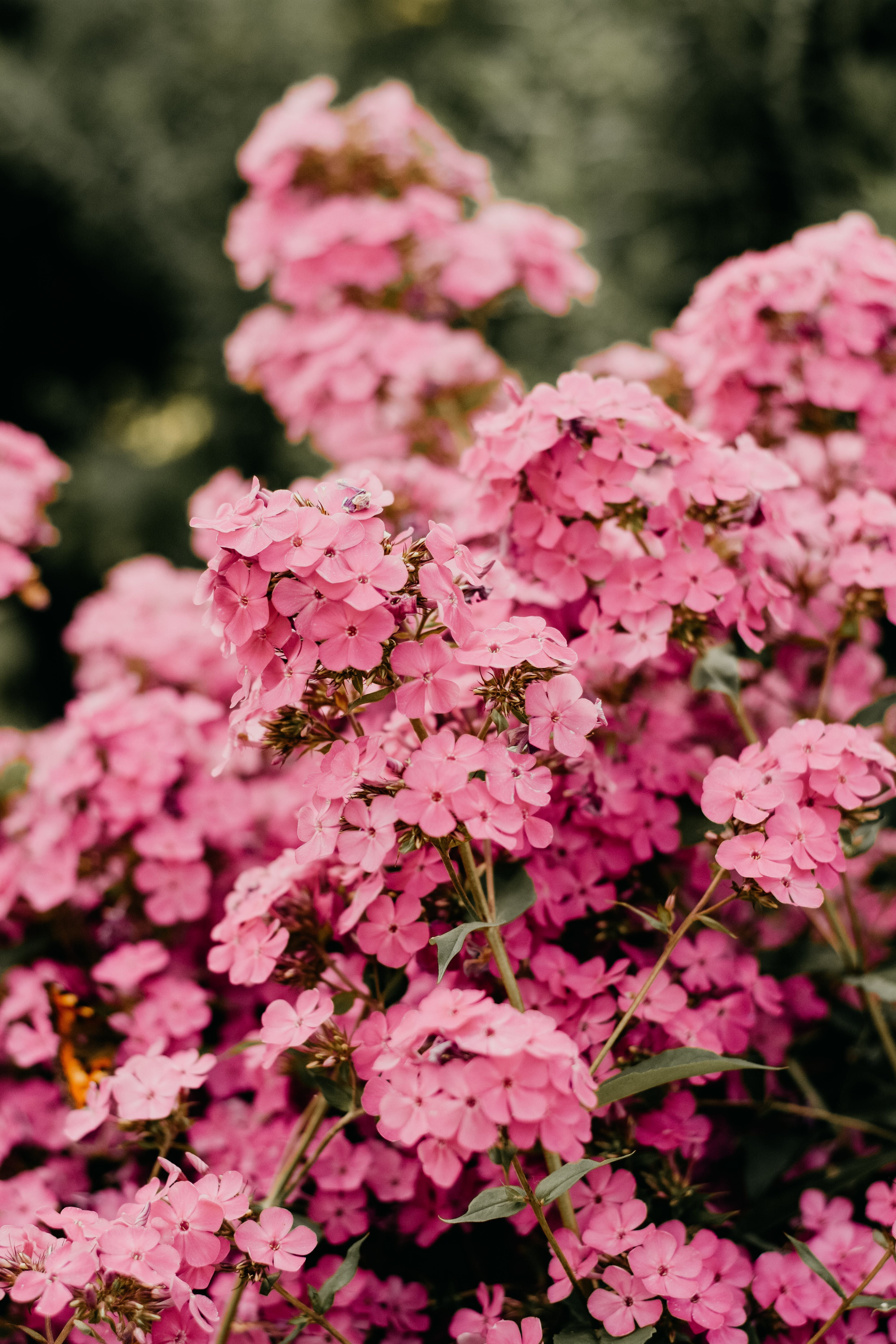 Pink Clustered Flowers