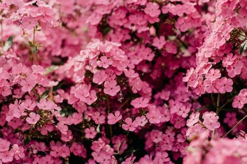 Closeup Photo of Pink Petaled Flowers