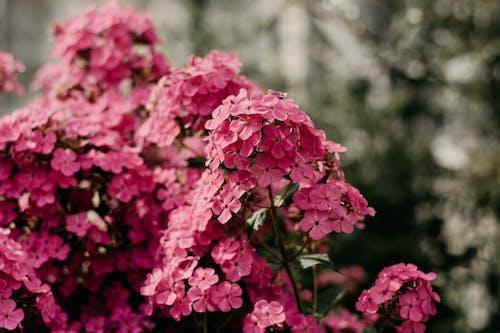 คลังภาพถ่ายฟรี ของ กระจุก, กลีบดอก, การเจริญเติบโต, กำลังบาน