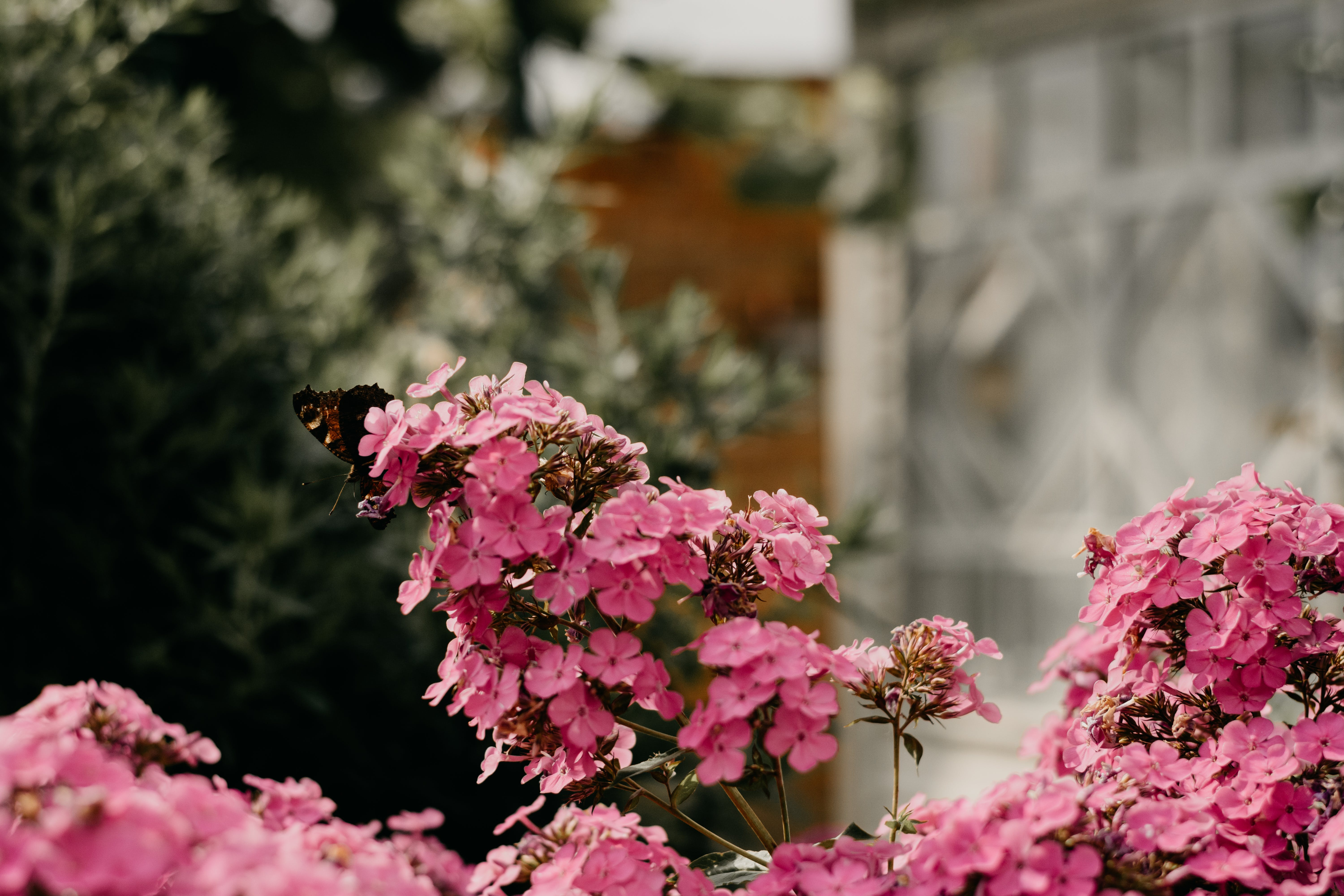 Close-up Photo of Black and Orange Butterfly Perched on Pink Flowers