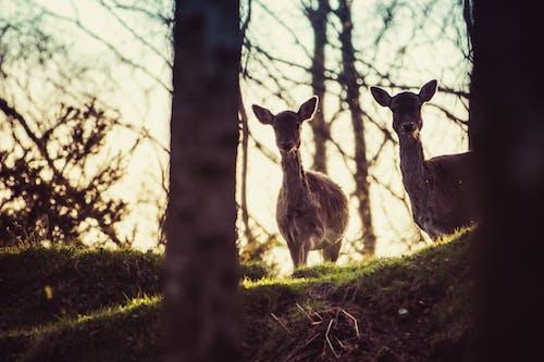 Foto d'estoc gratuïta de alba, animal, arbres, boc