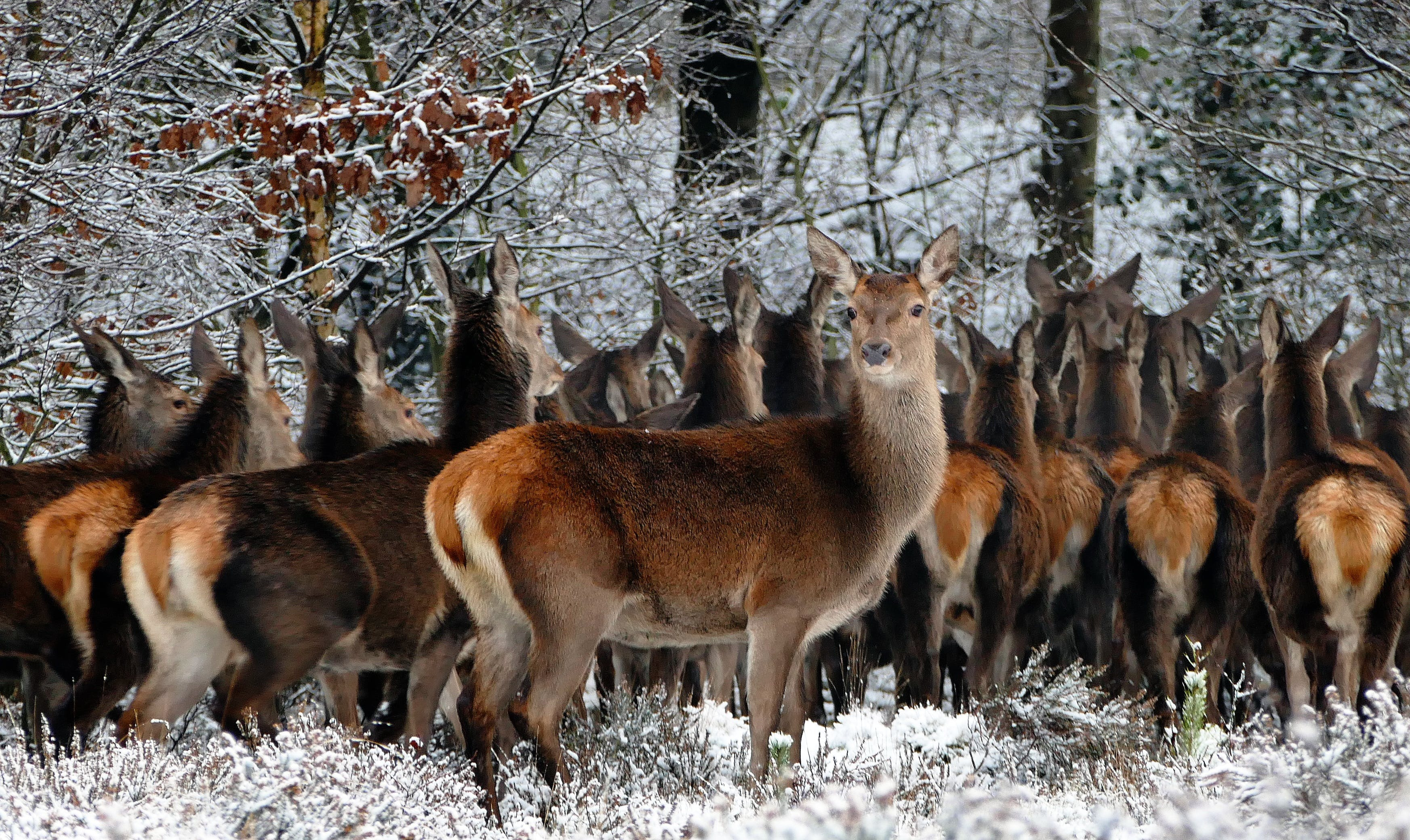 Herd of Deer on Forest