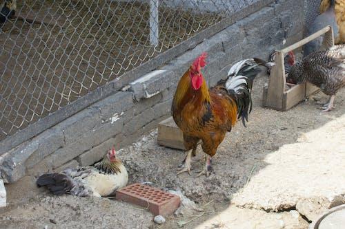 Gratis lagerfoto af dyr, gård, hane, kylling