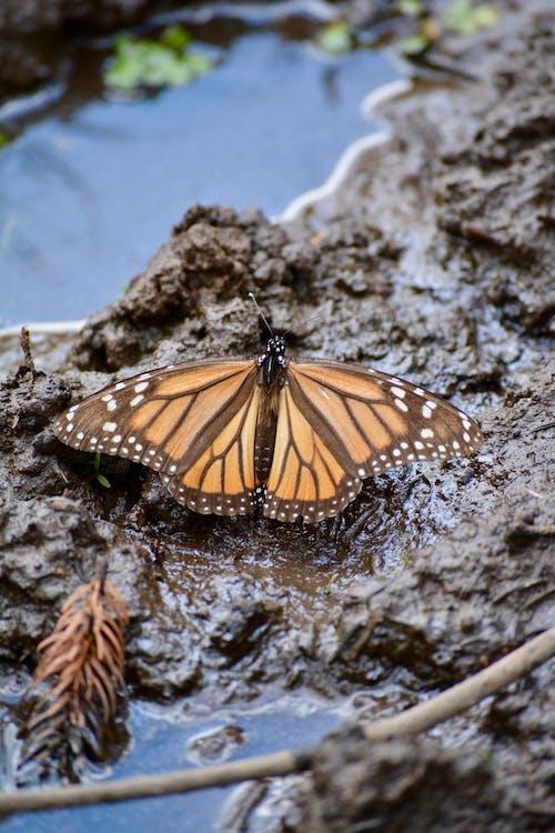 Ảnh lưu trữ miễn phí về bùn, bướm, bướm chúa, Con bướm