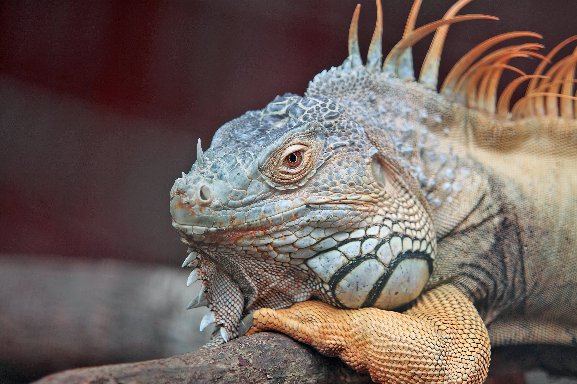 Wildlife Photography of Blue Iguana Lying on Tree