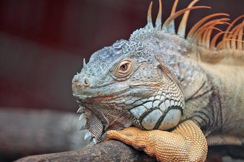 Wildlife Photography of Blue Iguana Lying on Tree