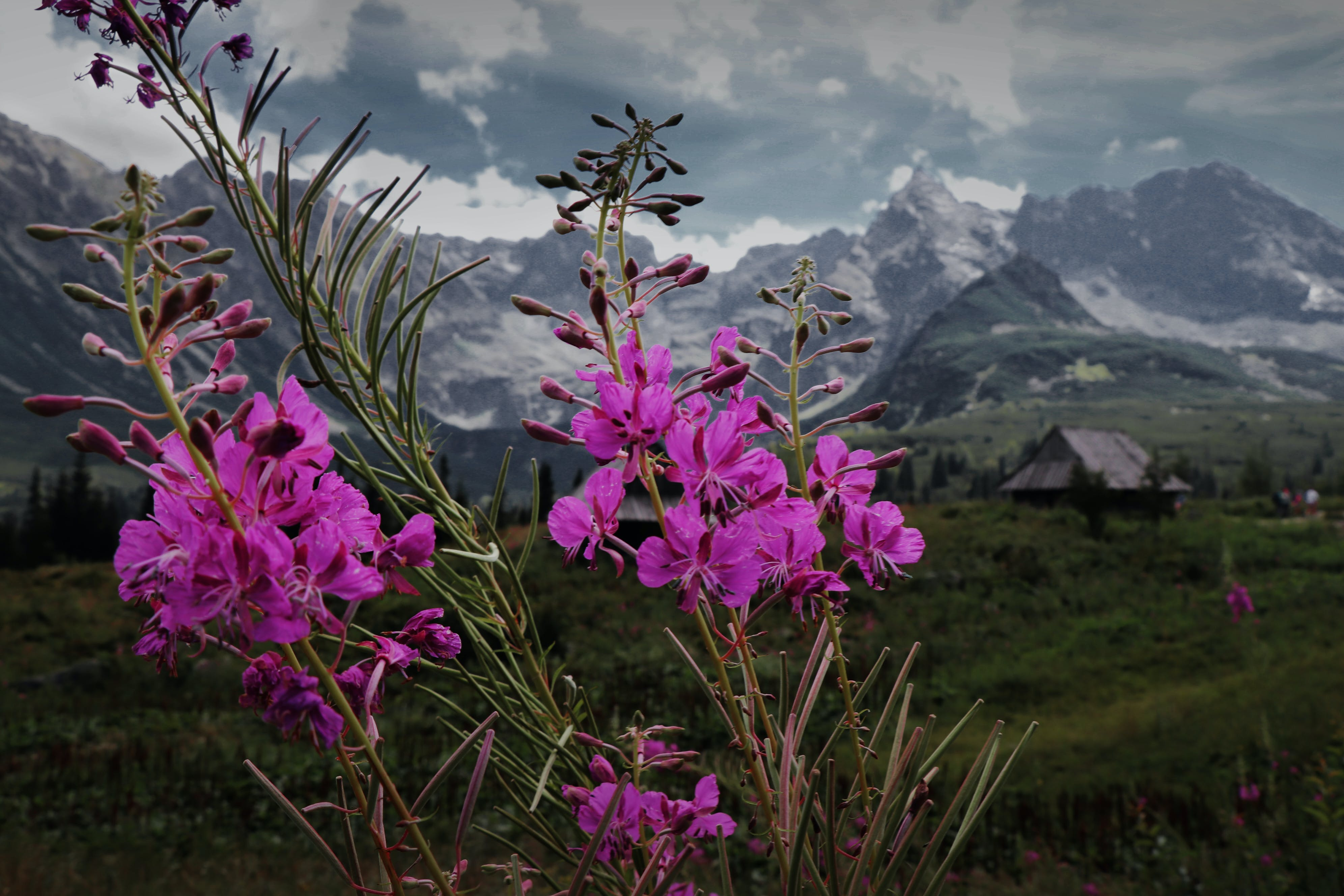 Purple Petaled Flowers With Mountain As Background