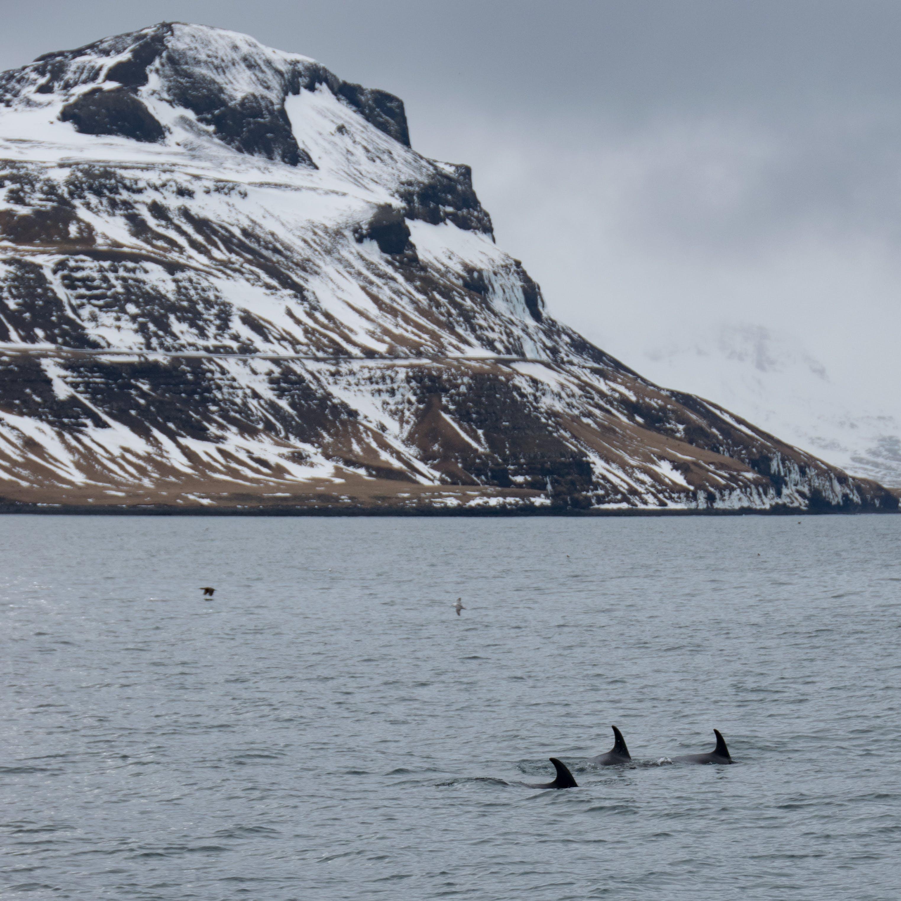 Free stock photo of Dolfin, iceland, mountain, sea