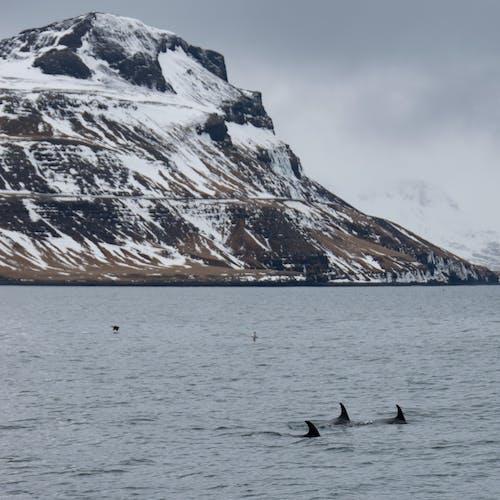 アイスランド, ドルフィン, 山, 海の無料の写真素材
