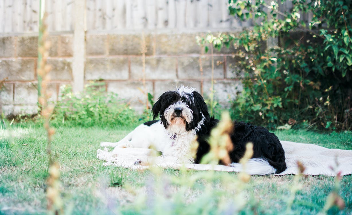 Adult White and Black Shih Tzu Sitting on Grass Field