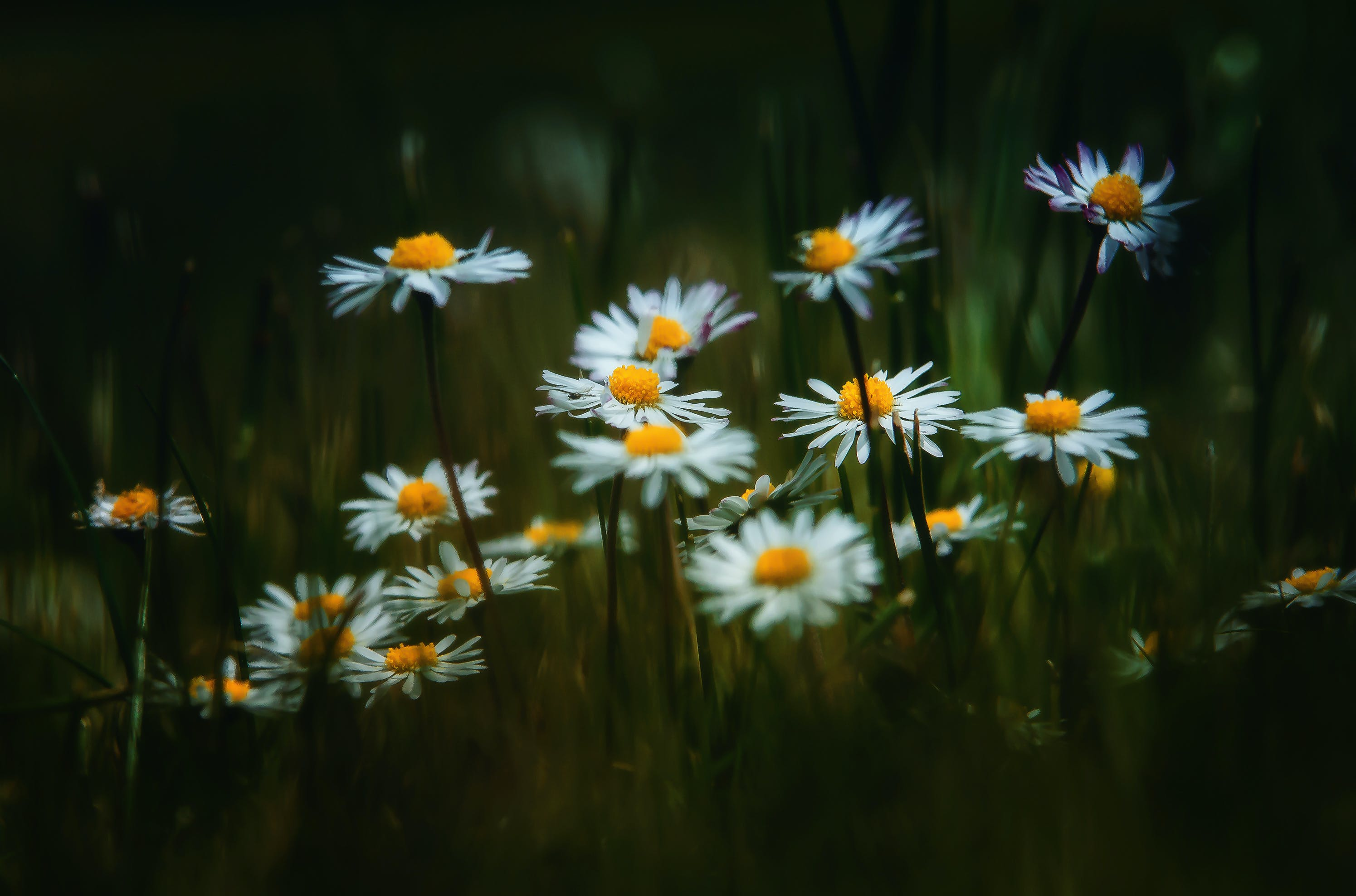 Selective Focus Photography of Daisy Flowers