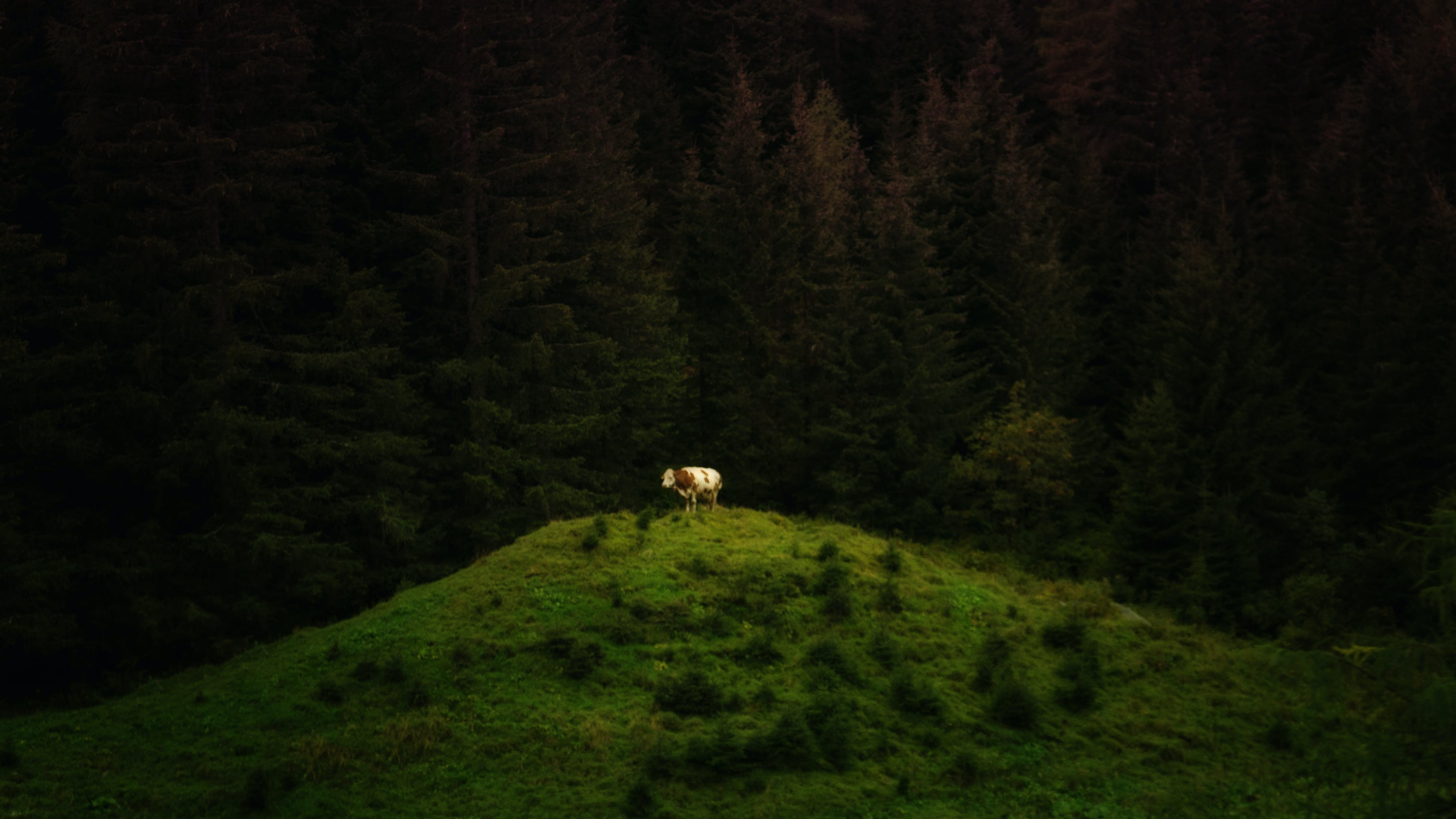Ingyenes stockfotó állat, életöröm, erdő, felföld témában