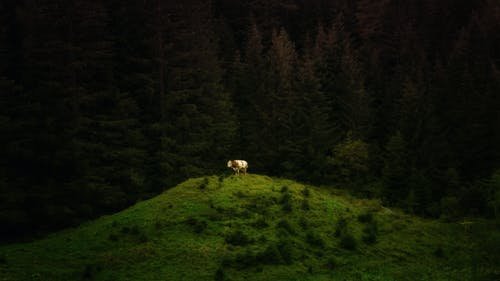 Free stock photo of animal, coniferous, cow