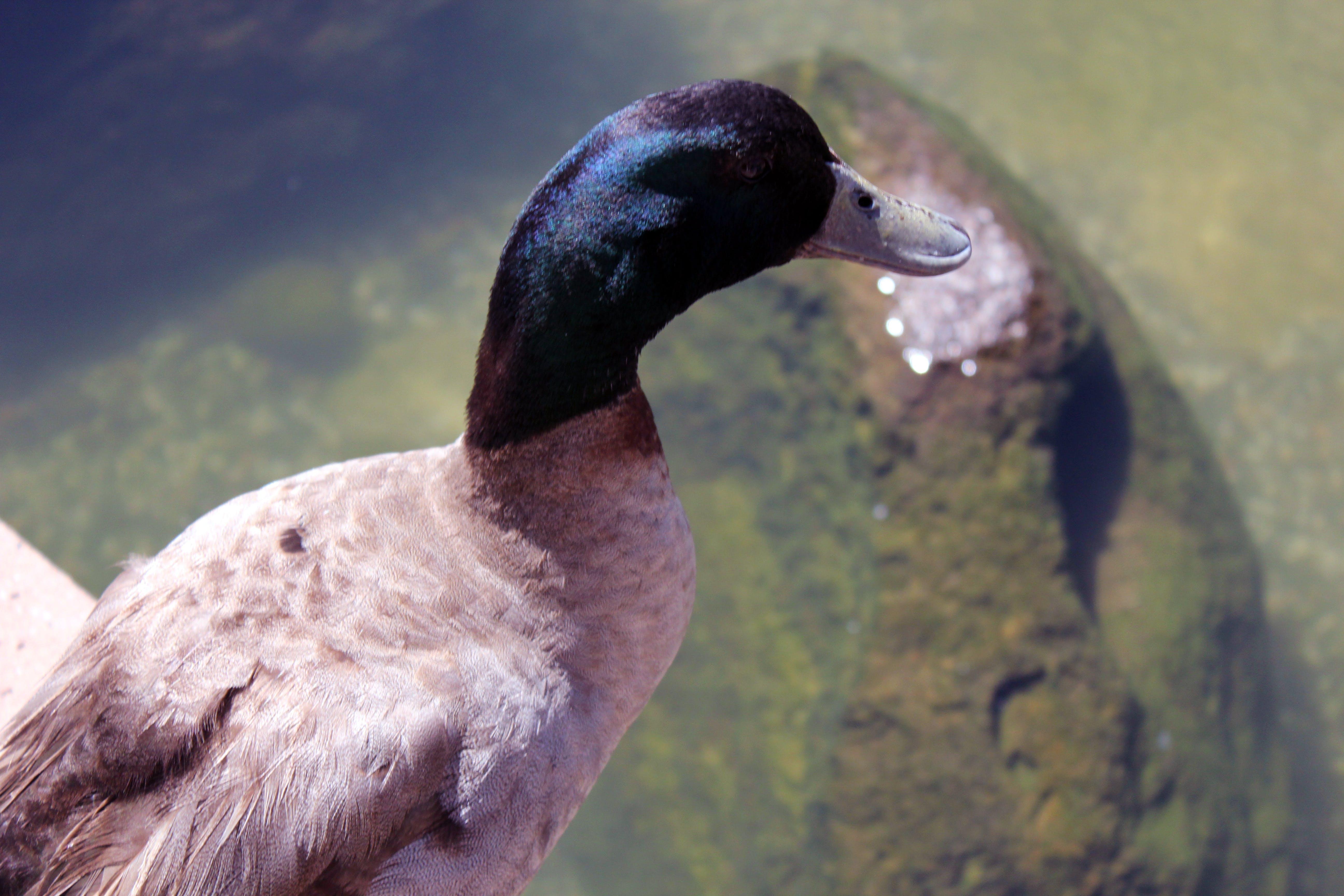 Free stock photo of duck