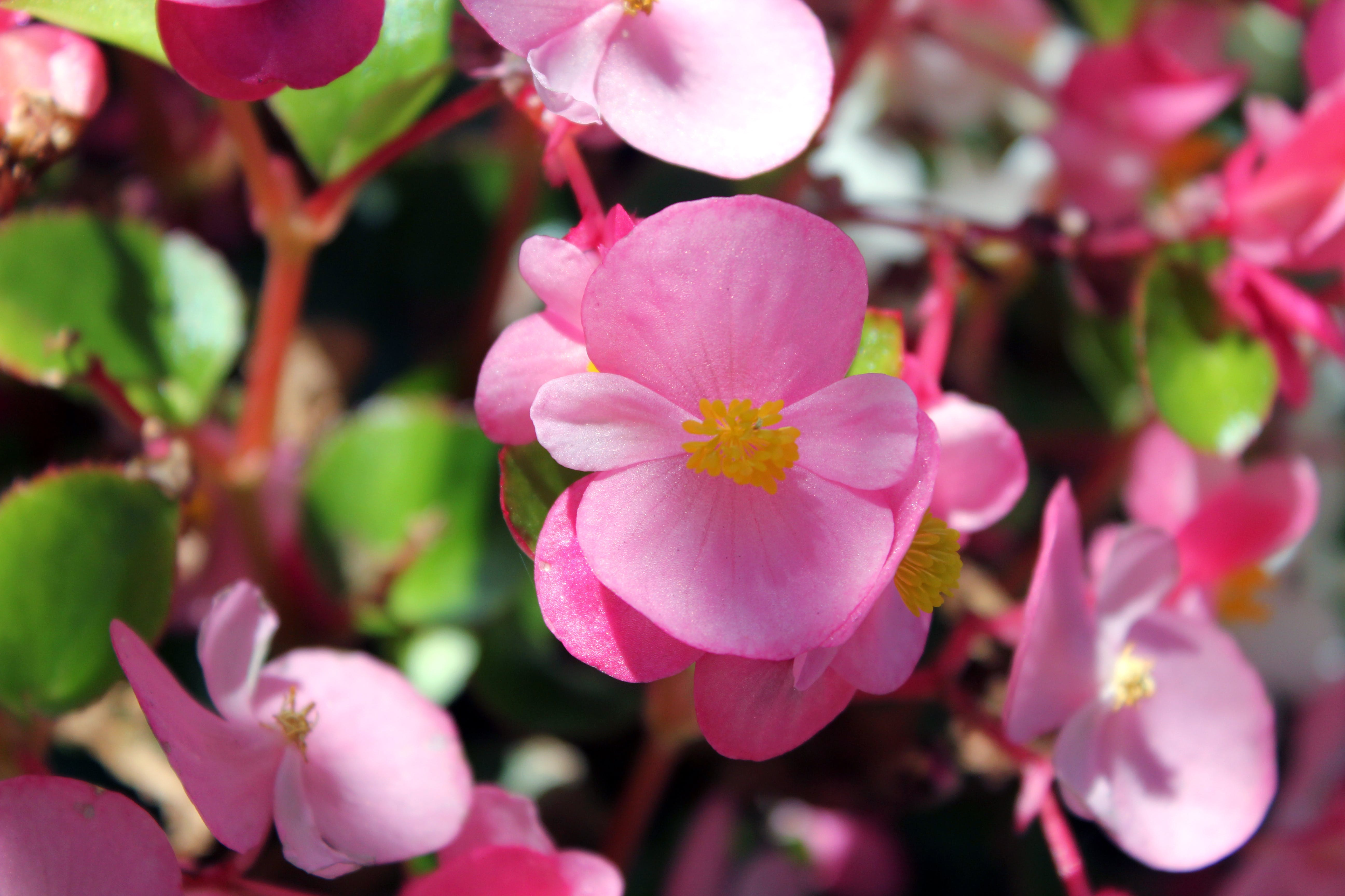 Free stock photo of pink flowers