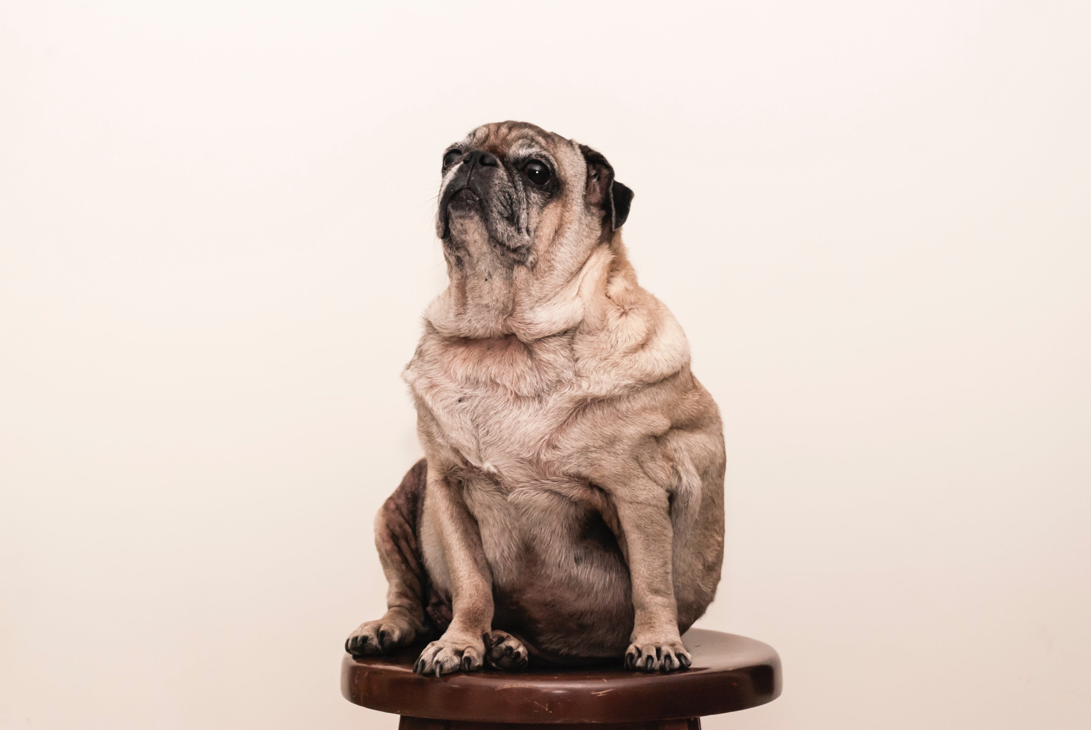 Photo of Brown Pug Sitting on Wooden Stool