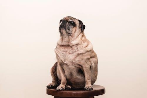 パグ, ペット, 動物, 哺乳類の無料の写真素材