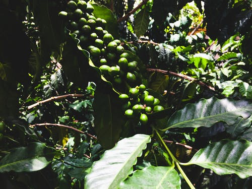 Free stock photo of coffee, mexico, seed, veracruz