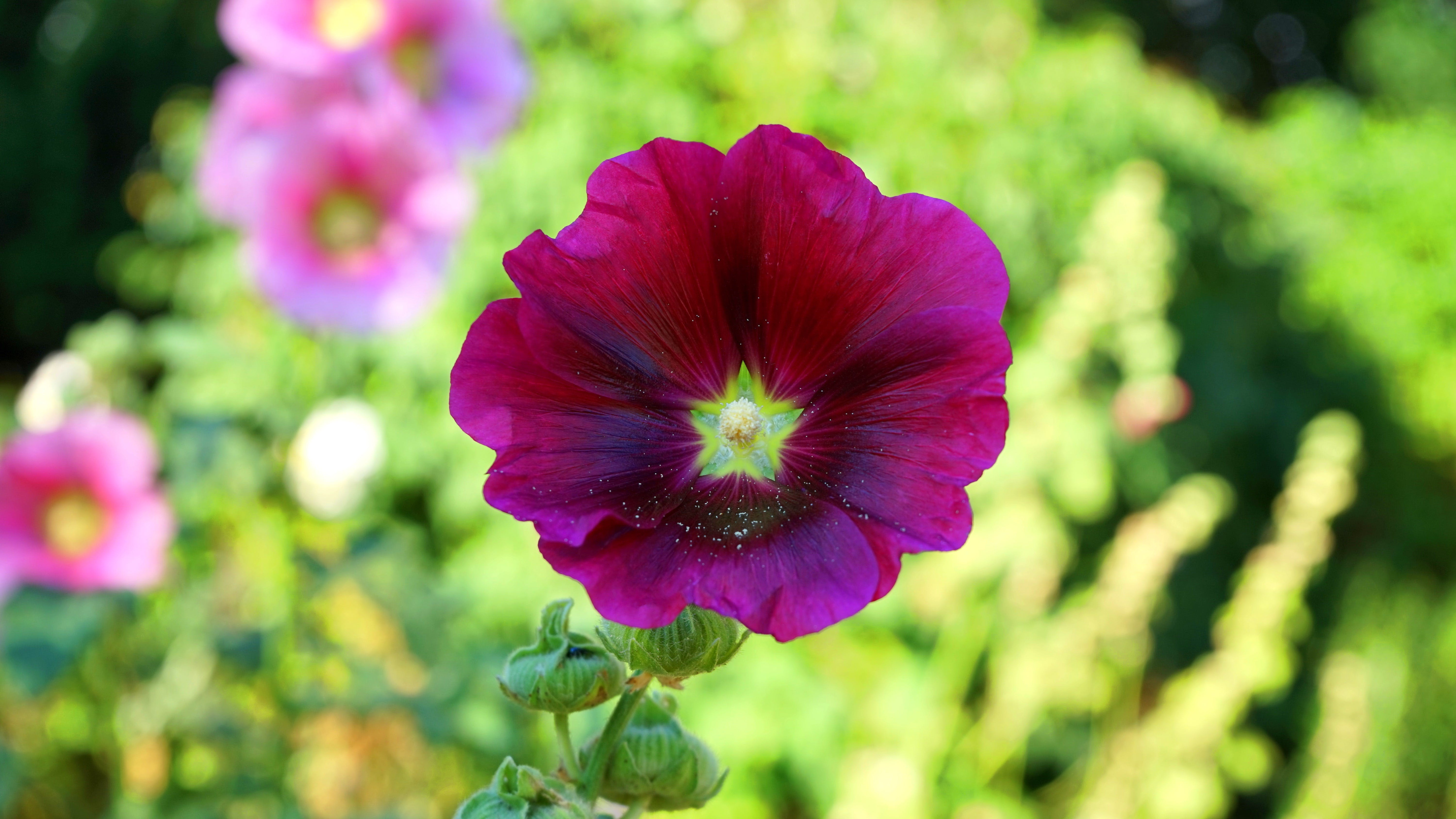 Selective Focus Photography of Purple Hollyhock Flower in Bloom