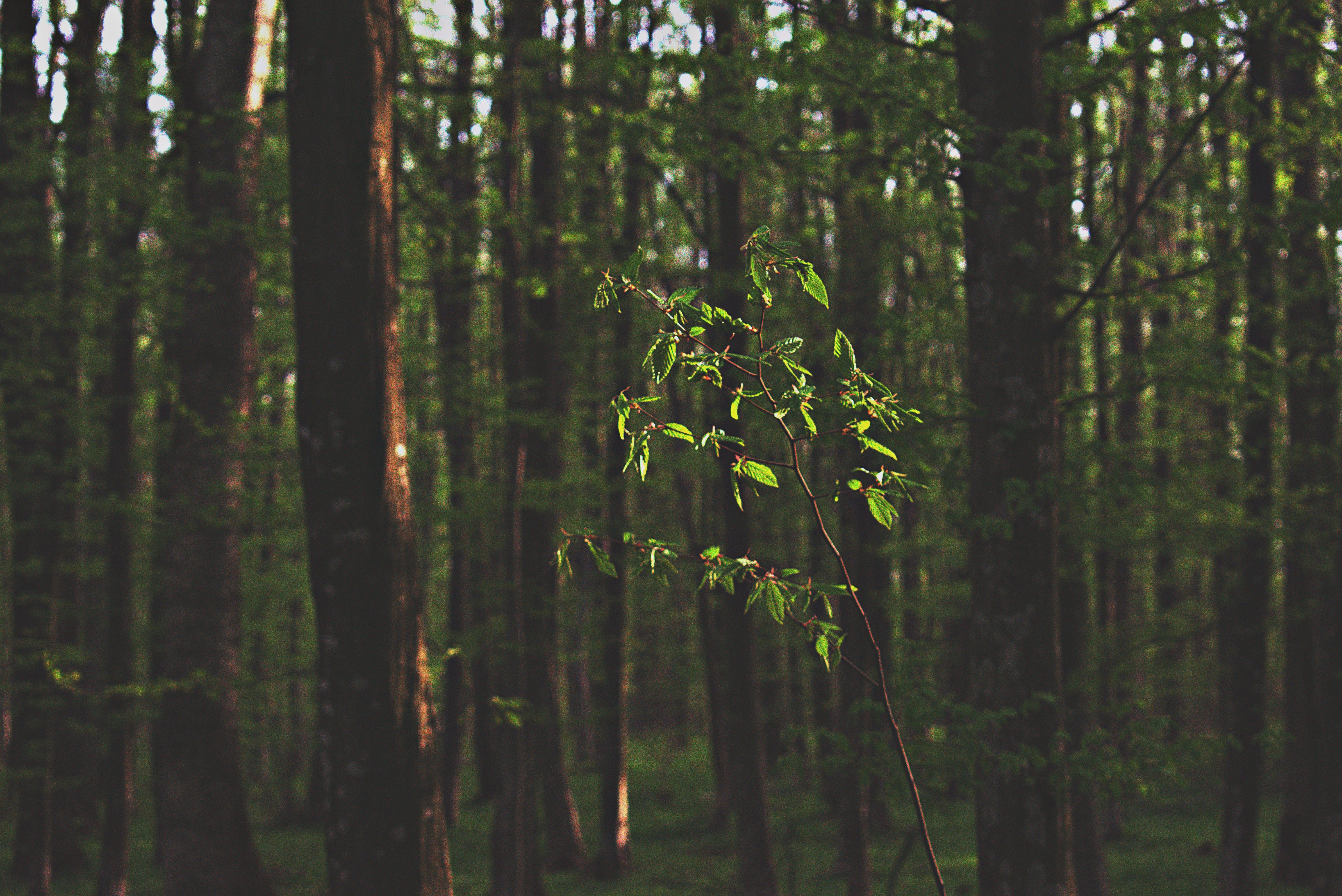 Green Tree Sapling