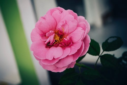 Free stock photo of flower, pink roses, red roses, rose