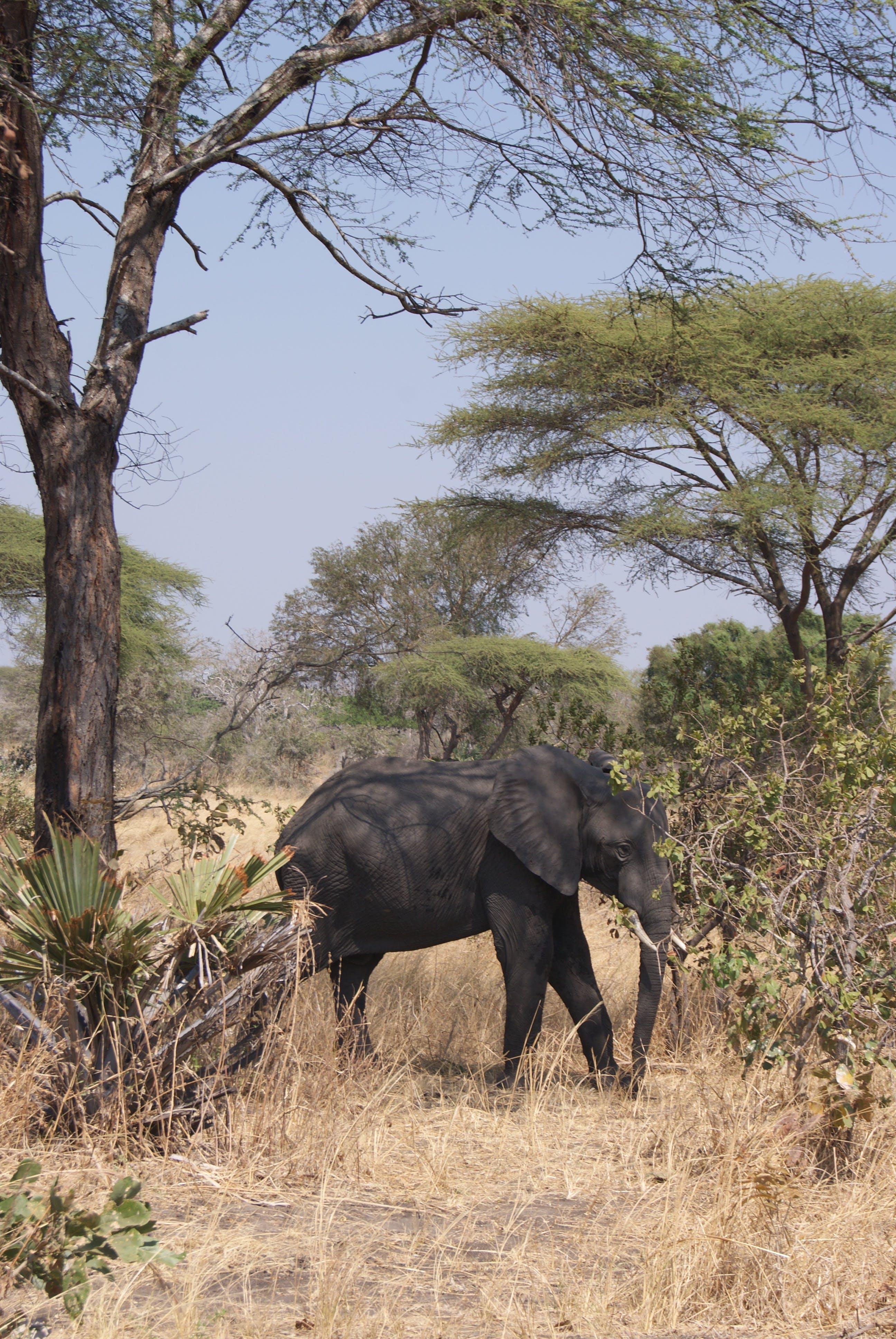 Free stock photo of elephant, safari