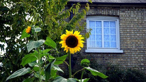 Yellow and Black Sunflower in Bloom Near Brown Bricked House