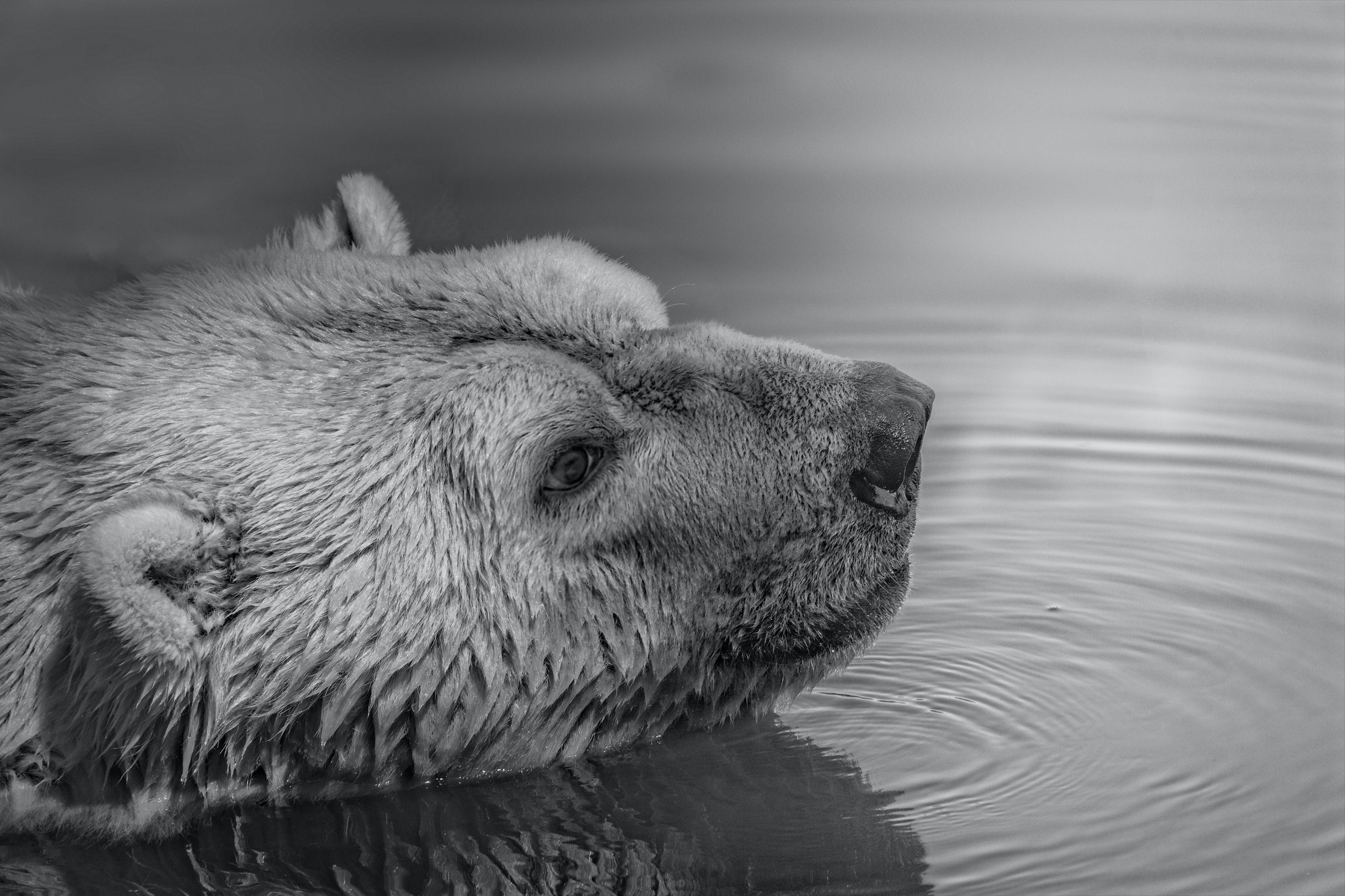 Bear on Water