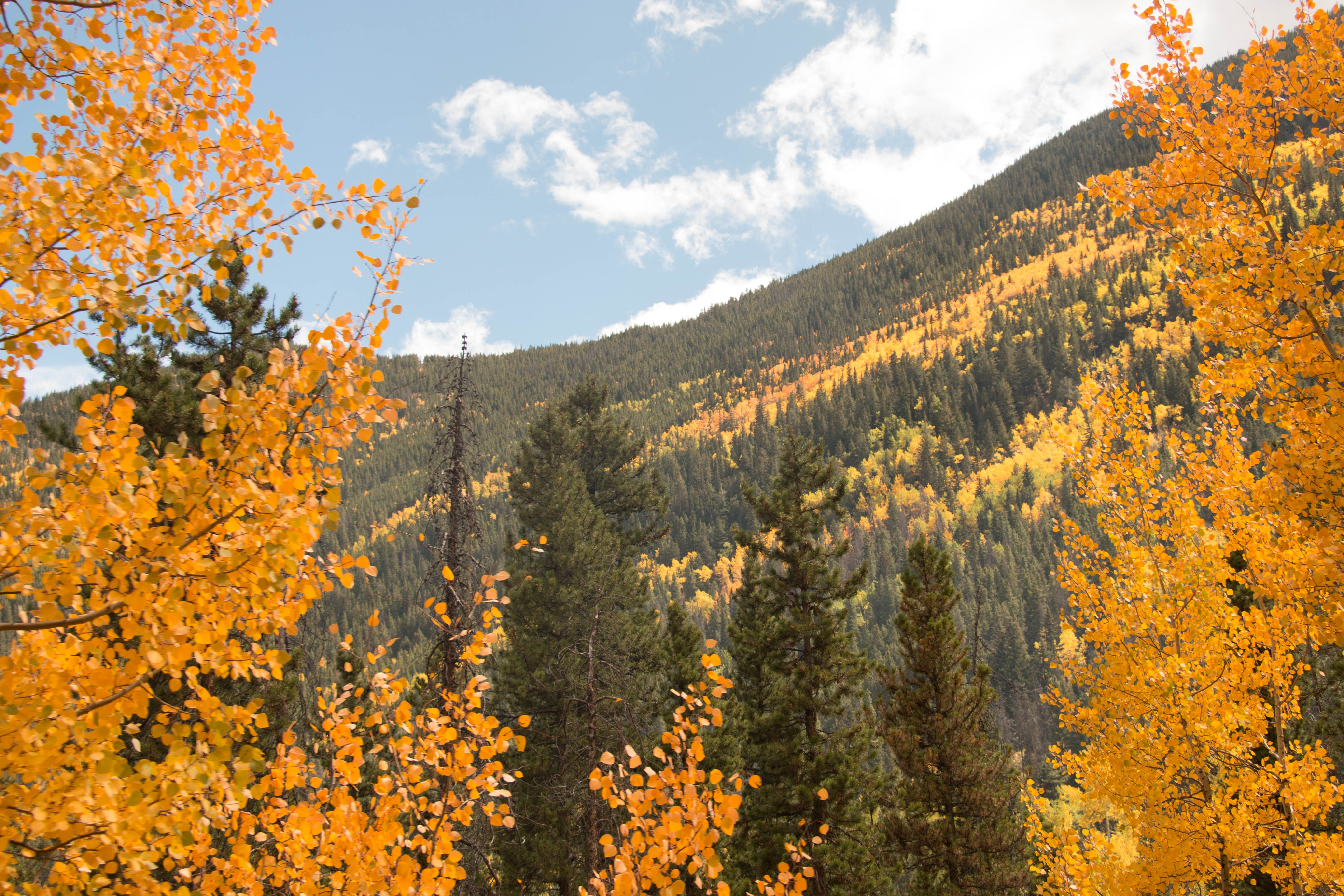 Yellow Leafed Trees
