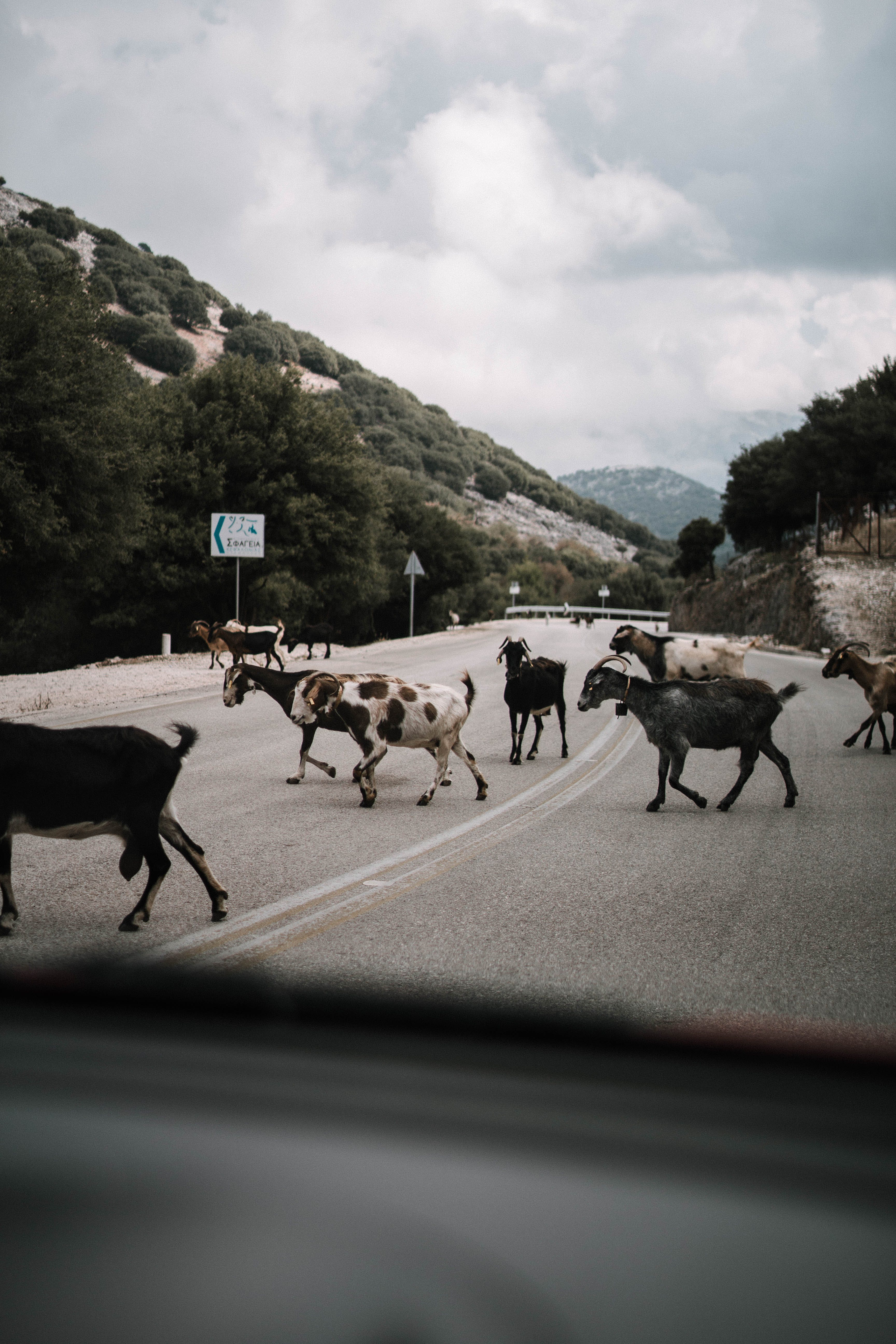 Goat Herd Crossing Street