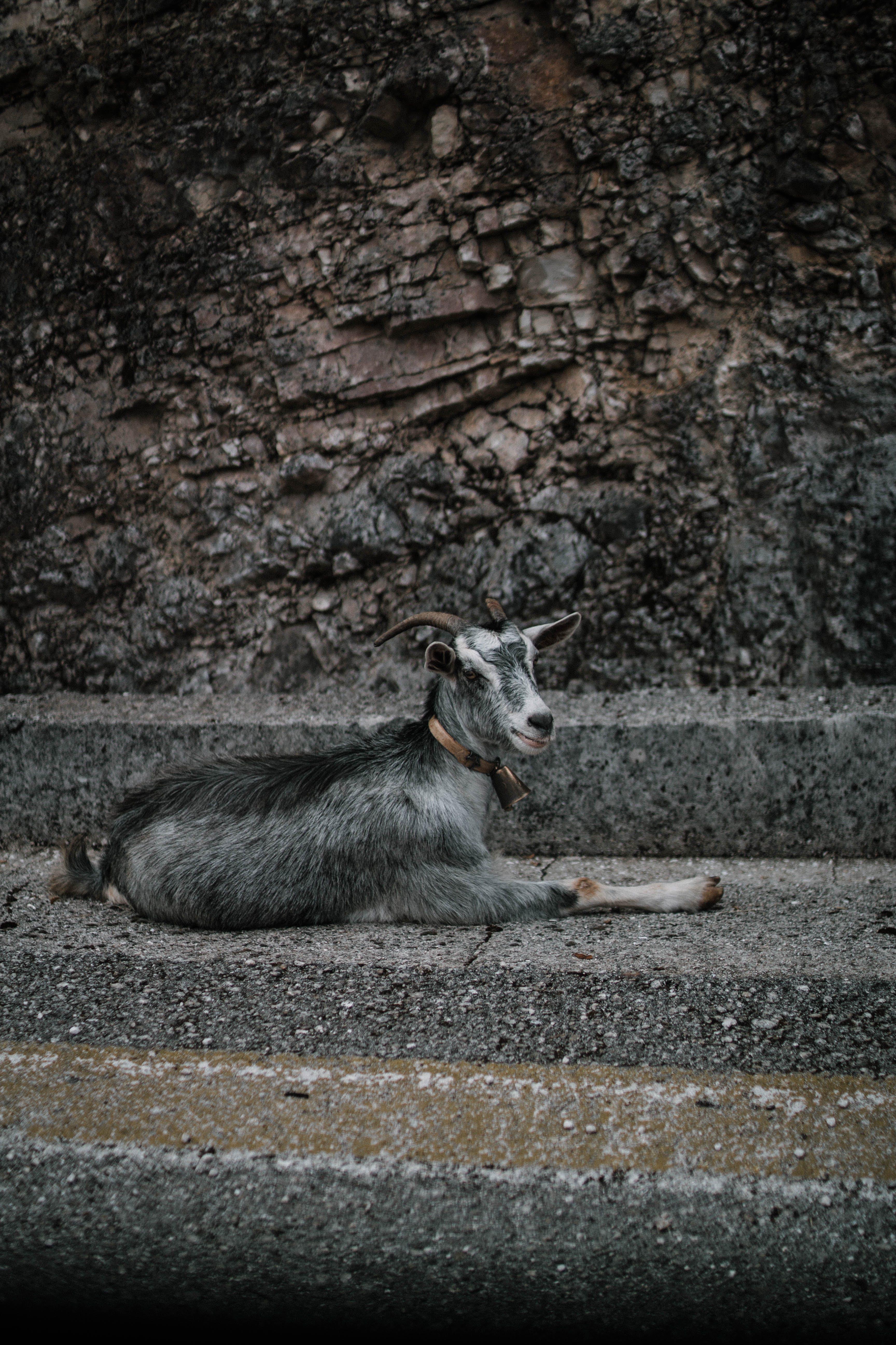 Goat Resting On Concrete Floor