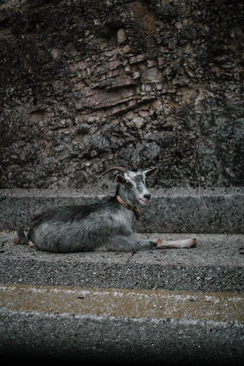 動物, 家畜, 山羊, 路面 的 免费素材照片