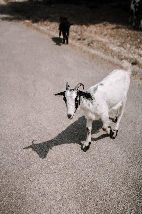 動物, 哺乳動物, 家畜, 山羊 的 免费素材照片